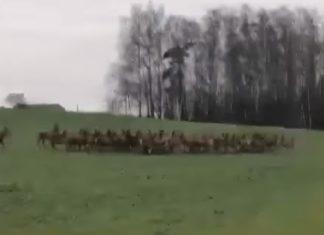 Niespotykane nagranie. Ogromne stado jeleni broni się przed wilkami